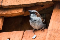 House Sparrow At Home (Barbara Evans 7) Tags: uk house hampshire barbara sparrow oakley evans7