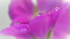 DSC_7012 (gitte123) Tags: macro refraction pink flower