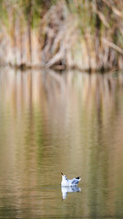 Rflexion (romain_castellani) Tags: nikon d750 seagull nikkor200500mmf56 tang pond vaugrenier france ctedazur oiseau oiseaux bird tlobjectif zoom nature animal animaux c1 mouette extrieur eau water