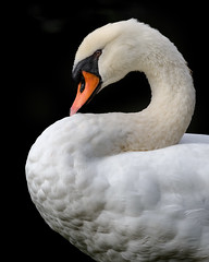 Mute Swan (ayres_leigh) Tags: swan bird nature animal highpark toronto canon black white