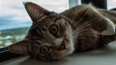 DSC_0015 (Adrian De Lisle) Tags: atreides cat tabby burnaby britishcolumbia canada ca