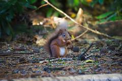 Red Squirrel - Perthshire (silverlarynx) Tags: red squirrel perthshire scotland highlands