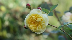 Beautiful double Rose (Paul (Barniegoog)) Tags: roses yellow nature garden davidaustinroses