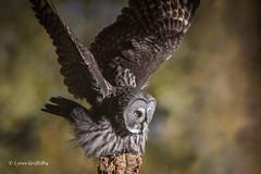Great Grey Owl - Lift Off D50_4692.jpg (Mobile Lynn) Tags: owls birds greatgreyowl nature captive bird fauna strigiformes wildlife nocturnal ringwood england unitedkingdom gb