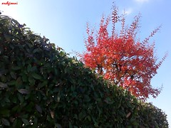 autunno 2016 (archgionni) Tags: leaves plants trees alberi verde green cielo sky rosso red diagonal autunno autumn natura nature totalphoto christiangroup