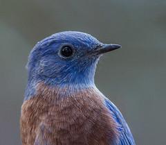 Western Bluebird (Sialia mexicana) (NigelJE) Tags: westernbluebird bluebird sialiamexicana sialia thrush turdidae nigelje sisters