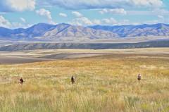 (thewanderingarchitect) Tags: upland hunting uplandhunting idaho sharptail grouse sharptailgrouse
