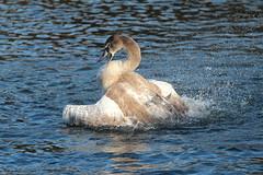Juvenile Swan No3 (jdathebowler Thanks for 965,000+ views.) Tags: swan muteswan familyanatidae juvenileswanno3 waterfowl cygnusolor bathingswan cygnusolar juvenilemuteswan