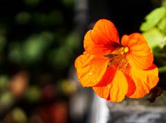 Nasturtium (judy dean) Tags: judydean 2016 sonya6000 nasturtium orange autumn