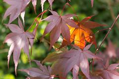 Acero (ambrasimonetti) Tags: acero leaves leaf foglia autunno acer red controluce overshadow saveearth