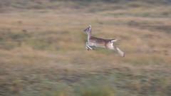 """Jump "" (Alex Verweij) Tags: deer female flying running damhert alexverweij canon 200mm awd duinen vrouw vliegen vlug snel 5d markiii"