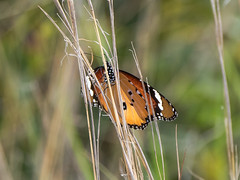 A glimpse of a Monarch (Maria-H) Tags: plaintiger fiskardo greece gr africanmonarch butterfly danauschrysippus kefalonia ionian islands panasonic gh4 dmcgh4 100400
