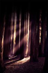 Redwoods in Beech Forest (Leanne Cole) Tags: igshotz focusaustralia igaustralia aussiephotos artlimited igglobalclub australiashotz igglobal igpodium awesomeearth victoria australia michaelscamera melbournetouristguide visitvictoria igdiscoveraustralia exploringglobe nikonaustralia sunrays beechforest apollobay visitgreatoceanroad discoverearth wowaustralia2016 dreamimage redwoodforest cruisingaustralia fingerprintofgod