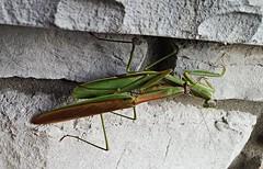 Let's get it on... (wnelweb) Tags: mantis praying insect green prayingmantis loveontherocks nature