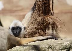 Bébé gibbon à favoris blancs du Nord (Passion Animaux & Photos) Tags: primate singe bebe gibbon favoris blancs nord monkey nomascusgibbon zoo mulhouse france