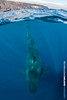 Great White Shark (Big Fish Expeditions) Tags: greatwhite whiteshark greatwhiteshark guadalupeisland cagediving