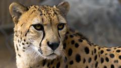 Cheetah (danielledufour430) Tags: cat feline cheetah spots fur face eyes ears nose whiskers closeup wildlife nature sonya6000