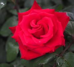 "Rosa ""Grande Amor My Valentine"" (tgrauros) Tags: göteborg gothenburg konungariketsverige roserar roses suècia sverige sweden trädgårdsföreningen gardensocietyofgothenburg"