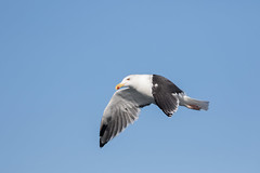 Great Black Backed Gull #7 (scilly puffin) Tags: larus gull islesofscilly