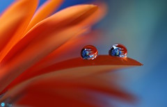 Richness (Trayc99) Tags: bright colourful colours petals flower orange water droplets drops reflections lily macro closeup beautyinnature beautyinmacro beautiful