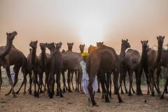 L1002815.jpg (Bharat Valia) Tags: pushkarfair bharatvalia desert bharatvaliagmailcom pushkarmela pushkarimages festivalsofindia pushkar camel pushkarcamelfair sheperd