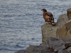 Young bald eagle (TauSo) Tags: vogel adler weiskopfseeadler