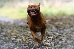 Cutest dog (laurencebissett) Tags: doguedebordeaux