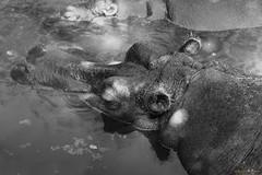 Zoo Safari (@Hastur79) Tags: wild summer bw italy animals canon zoo italia estate safari ritratto puglia animali 2015 70200f4 zoosafari ippopotamo hyppo selvaggio canon5dmarkiii