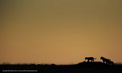 Cubs at Play (markrellison) Tags: africa morning wild animal animals silhouette kenya iso400 wildlife lion cubs lightroom f40 masaimara wildanimals eastafrica pantheraleo 420mm 1320sec kicheche lrcc ef300mmf28lisusm14x canoneos5dmarkiii kichechemaracamp maranorthconservancy lightroomcc