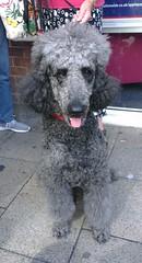 Minty (Moldovia) Tags: street dog pet animal big large canine poodle phonecamera pedigree htconex