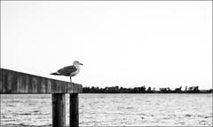 Old Jonathan Seagull (Eline Lyng) Tags: leica sea summer portrait norway coast seagull coastline animalportrait larkollen leicam240 aposummicron50mm