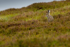 Mountain Hare (David Barnes Wildlife Photography) Tags: uk nature birds fauna scotland highlands unitedkingdom wildlife british mammals naturephotography leveret 1d4 mountainhare lepustimidus aigas farrroad strathdearn