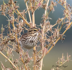 Savannah Sparrow (Angie Vogel Nature Photography) Tags: bird nature wildlife seeds sparrow savannahsparrow ridgefieldnationalwildliferefuge