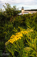 Summer Coastal Scene, Port Clyde, Maine (97532) (John Bald) Tags: summer lighthouse yellow maine stgeorge tansy portclyde commontansy tanacetumvulgare marshallpoint marshallpointlight
