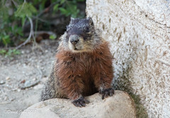 Yellow-bellied Marmot (Marmota flaviventris) (David A Jahn) Tags: park grand national marmot wyoming teton yellowbellied marmota flaviventris