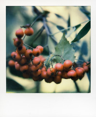 what I saw while walking the dog # 2 (Paul A. Rizer) Tags: autumn polaroid sx70 berry berries instant outandabout redness instantshot whatisawwhilewalkingthedog impossibleproject impossiblecolourforsx70