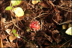 Fly agaric (postman.pete) Tags: park macro grass yellow canon garden insect square carpet spider fly high wings oak woods wasp sting flash country under wing moth crab ivy spot digitalis micro ladybird hornet hopper colchester trap agaric gaul