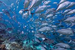 Wrong Lane (Lance Sagar) Tags: ocean school sea fish nature water coral indonesia asia underwater sony group freediving jacks reef pulau apnea komodo shoal besar inon ikelite rx100 sebayur