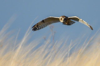 DSC_2640 Short Eared Owl