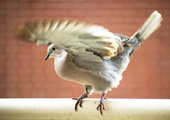 (ingehoogendoorn) Tags: bird birds movement pigeon pigeons vogels vogel beweging duiven duif