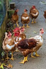 .. (Celso Kuwajima) Tags: brazil bird chicken canon eos is fuji br outdoor mark iii cock 5d usm santacatarina hen ef 70200mm astia 100f tubaro fujiastia100f f4l ef70200mmf4lisusm vsco 5dmarkiii