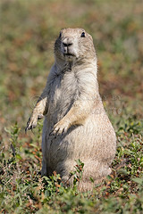 Black-tailed Prairie Dog Standing (Jerry Fornarotto) Tags: wild dog nature animal fauna southdakota standing outside mammal one rodent nationalpark looking adult outdoor wildlife sd daytime prairiedog badlands prairie upright badlandsnationalpark blacktailed blacktailedprairiedog robertsprairiedogtown jerryfornarotto