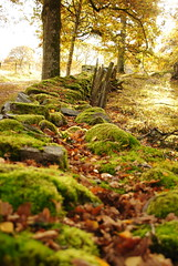 Mossmur (Bettysbilder) Tags: autumn nature natur sten höst mossa gärdesgård