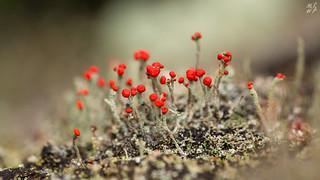 Devils Matchstick Lichen