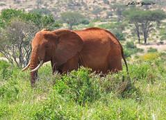 DSC_0698-b Cow Elephant moves thru the Tsavo West undergrowth, Kenya. (GavinKenya) Tags: africa wild nature animal june john mammal photography gavin photographer kenya african wildlife july grand safari dk naturephotography kenyasafari africansafari 2015 safaris africanwildlife africasafari johngavin wildlifephotography kenyaafrica kenyawildlife dkgrandsafaris africa2015 safari2015 johnhgavin