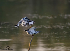 Pied Kingfisher (TARIQ HAMEED SULEMANI) Tags: travel winter bird tourism nature birds trekking photography nikon wildlife kingfisher sensational pied tariq supershot sulemani tariqhameedsulemani taounsa