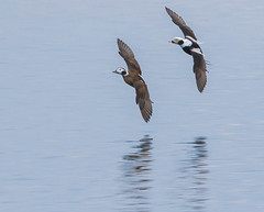Long-tailed Ducks (John Strung) Tags: nature birds ducks what longtailedduck