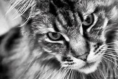 The cat's eyes (Nemodus photos) Tags: blackandwhite cat blackwhite chat noiretblanc catseyes iso25600 blackandwhiteonly fz1000