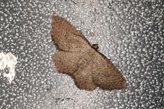 Chrysolarentia microcyma (dhobern) Tags: december australia victoria lepidoptera geometridae vic phillipisland 2015 larentiinae chrysolarentia microcyma