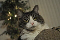 where's my scratching post with all the shiny things on it? (  jb  ) Tags: cat riley merrychristmas